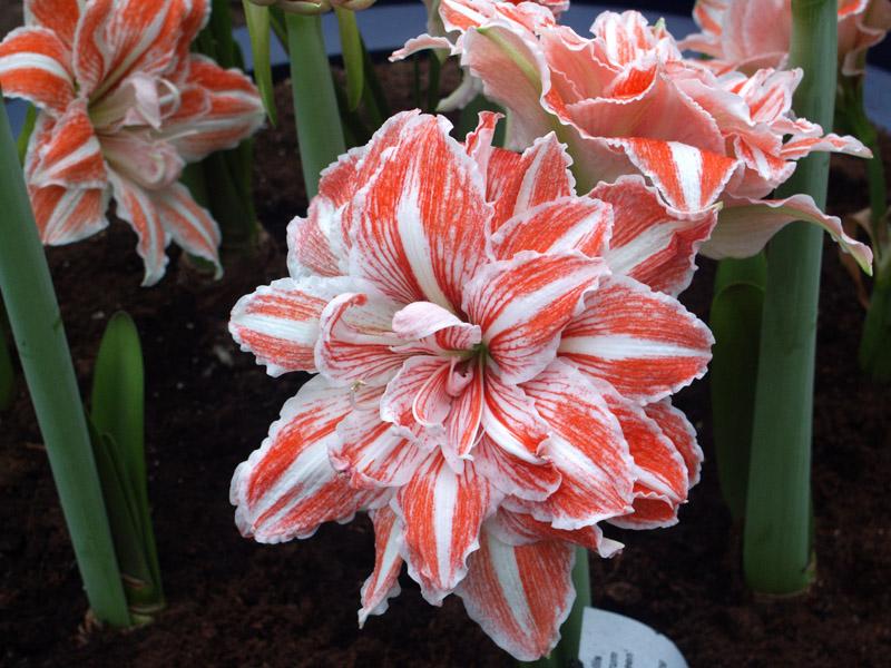 Цветы сорта лилий